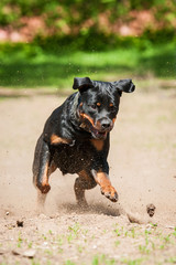 Rottweiler dog playing in the park