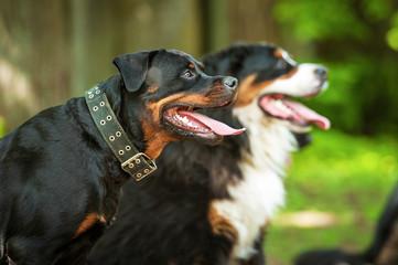 Portrait of rottweiler dog on the training