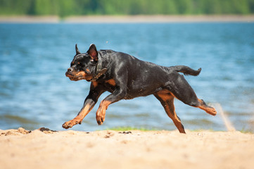 Rottweiler dog running on the beach