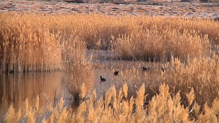 Mid shot of reed, lake and ducks in Ladakh, India