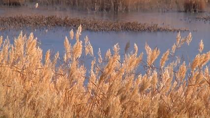 Mid shot pond reeds