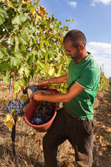 Harvesting grapes by hand