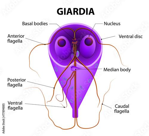 giardial - 77894885