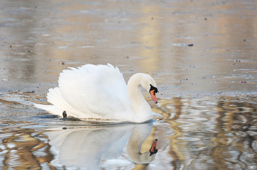 white Swan swims in autumn pond