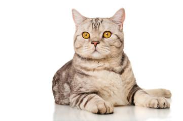 Marble british cat, isolated on white