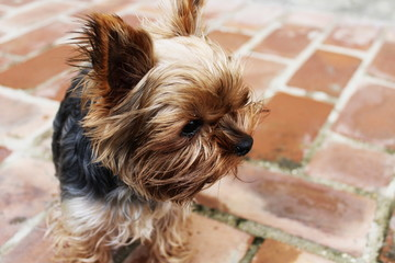Yorkshire Terrier - Pippa (sguardo)