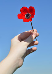 red anemone in the child's hand