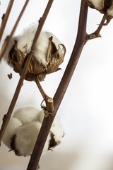Fresh white cotton bolls on the plant