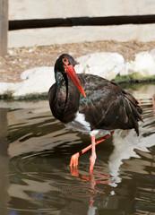 portrait of black stork