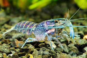 The blue crawfish  in a freshwater aquarium.