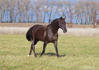A beautiful pedigree  mare trots on the field