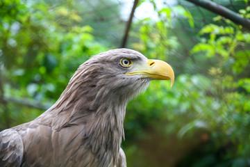 White tailed eagle in captivity