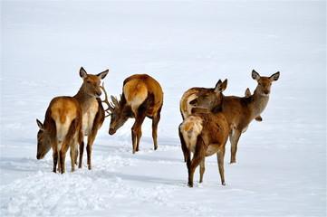 Rudel Hirschkühe steht im Schnee