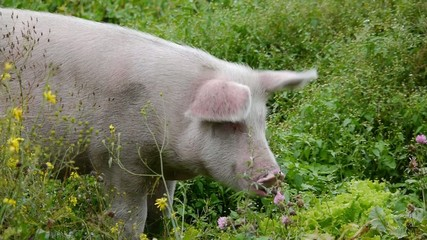 Pink pig eats green grass, swine grazes