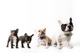 French bulldog family on background - 77916230