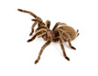 Chilean Rose Hair Tarantula - 77916697