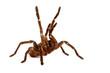 Leinwanddruck Bild - Goliath Bird Eater Tarantula