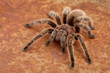 Leinwanddruck Bild - Chilean Rose Hair Tarantula