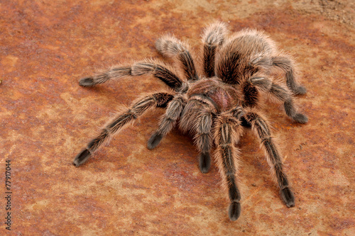 Leinwanddruck Bild Chilean Rose Hair Tarantula