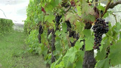 Vineyard plantation of red grapes in Northland New Zealand NZL
