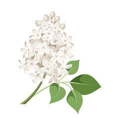 Branch of white lilac flowers. Vector illustration.