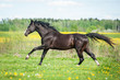 Beautiful black horse running on the pasture with flowers