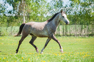 Grey arabian horse running on the pasture in summer