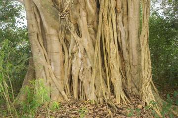 Ficus dendrocida trunk, closeup view