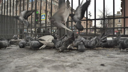A flock of pigeons feeding on the streets of St. Petersburg_2