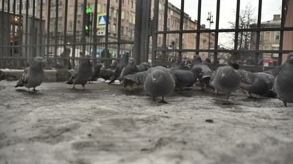 A flock of pigeons feeding on the streets of St. Petersburg