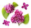 Spring flower, twig purple lilac with leaf.