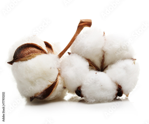 Cotton plant flower - 77931202