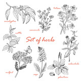Set of isolated herbs in sketch style