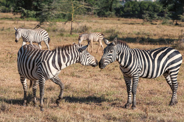 Zebras in the grasslands