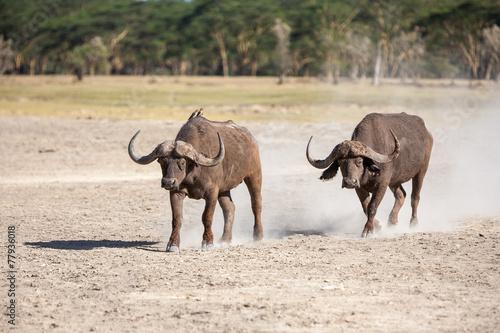 Papiers peints Buffalo Wild African Buffalo.Kenya, Africa