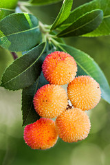 Strawberry tree berries