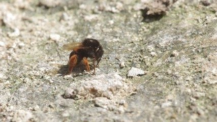 A bumble bee is consuming mineral from arid soil