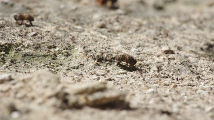 Working bee is consuming mineral from arid soil