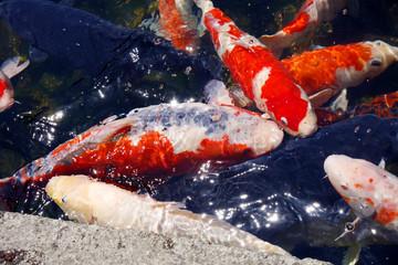日本庭園の錦鯉