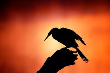 Darter silhouette with misty sunrise