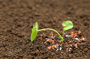 Medicinal thankuni plant on ground