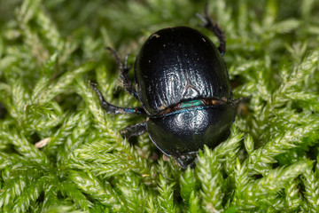 Dor-beetle on moss