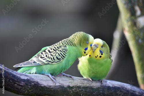 Tuinposter Papegaai Wellensittiche