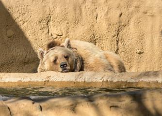 Close up of a Brown Bear Sleeping