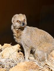 Close up of a Dwarf Mongoose