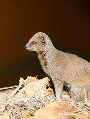 Close up of a Dwarf Mongoose