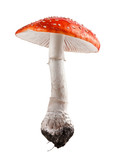 Amanita muscaria mushroom close up