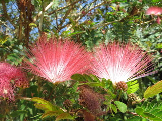 Flowers on Persian silk tree