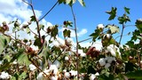Cotton crops ready for pickup