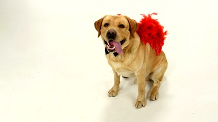 Adult labrador retriever with red wings and black boe-tie